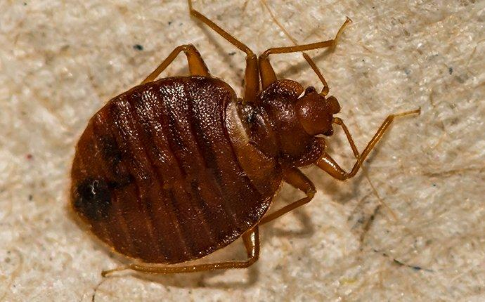 bed bug crawling on a mattress