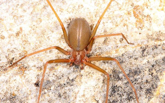 a brown recluse spider crawling in a basement