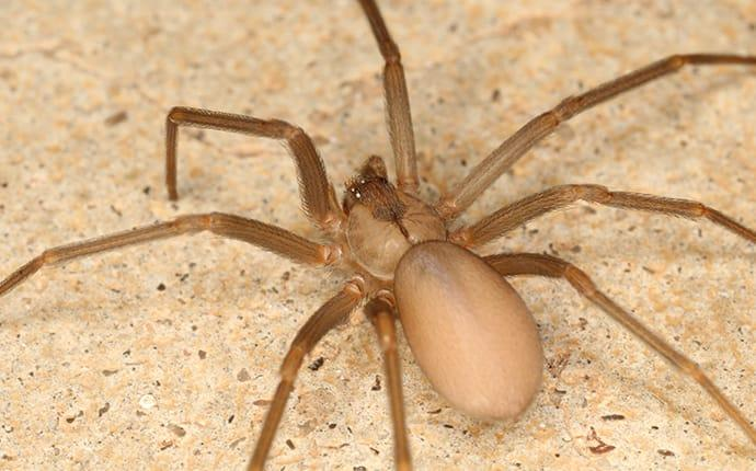 a brown recluse spider crawling across the gratin counter top in a mississippi home