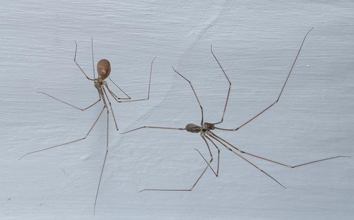 cellar spiders crawling up a wall