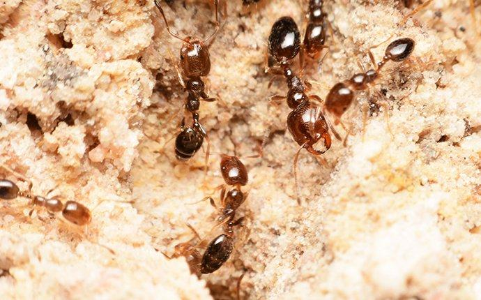 fire ants in a nest