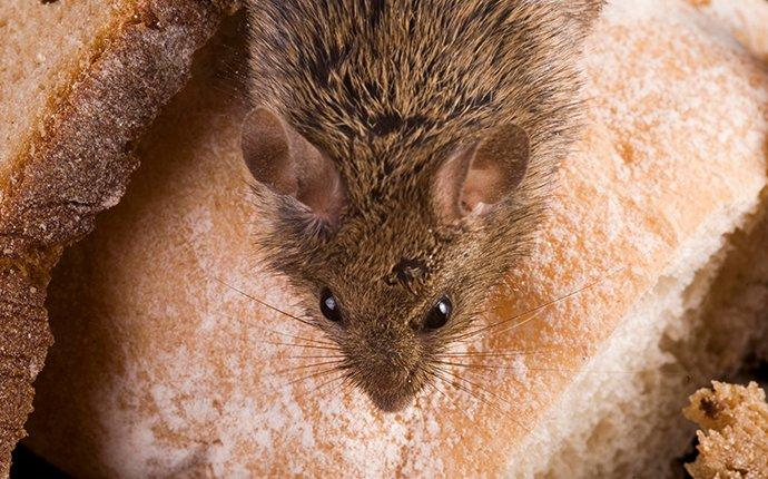 a mouse crawling on bread in a pantry