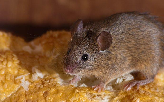 a house mouse feasting on bread