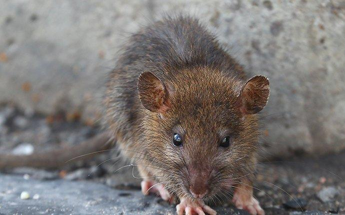 norway rat outside a home foundation