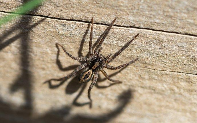 wolf spider crawling on wall