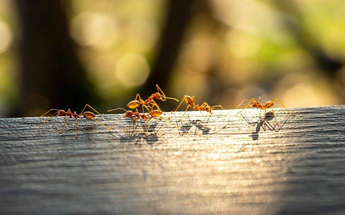 red fire ants crawling on a log