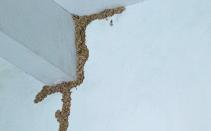 termite shelter tube infestation