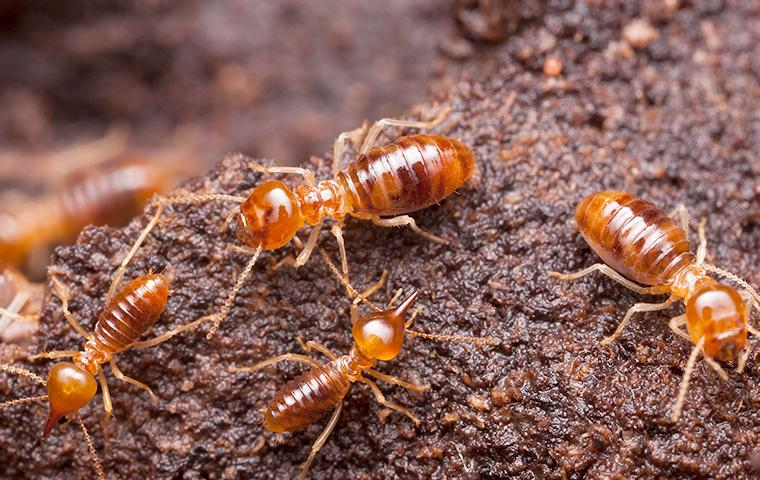 a large colony of swarming termites burrowing through a wooden structure on a birmingham alabama property