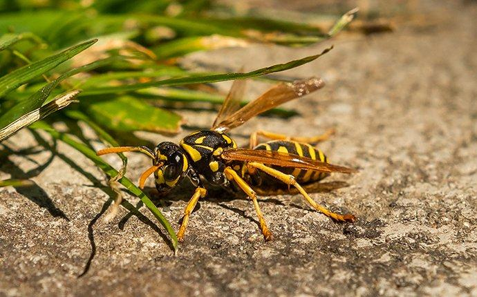 a wasp crawling on pavement