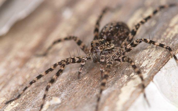 wolf spider on a wooden board