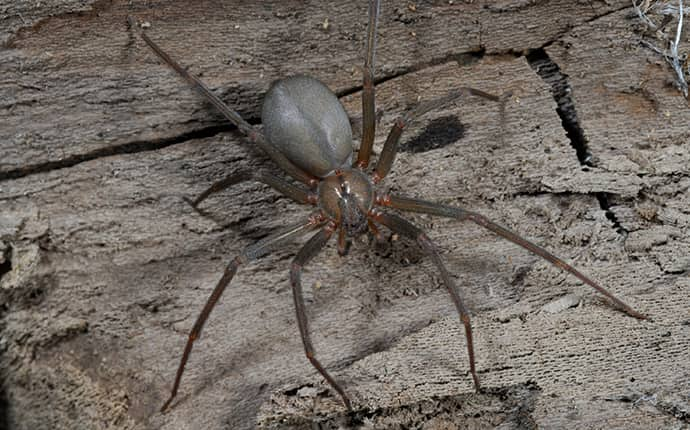 brown recluse spider outside of a new orleans louisiana home
