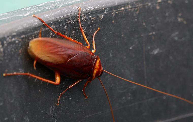 an american cockroach crawling on the side of a cabinet in a home in new orleans louisiana
