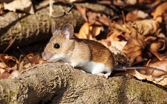deer mouse sitting on a tree root outside of meridian mississippi home