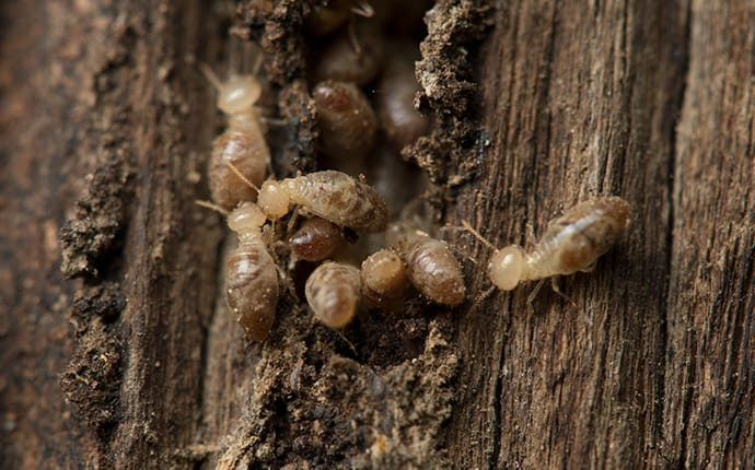 a colony of drywood termites on and inside a tree trunk in columbia mississippi