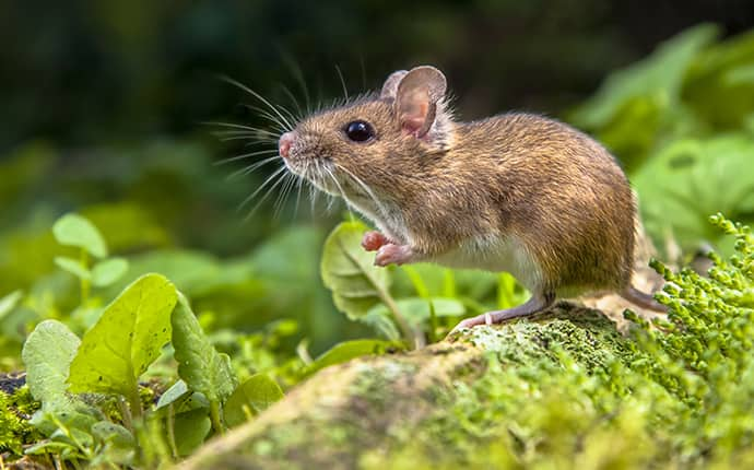 field mouse sitting in a field in montgomery alabama