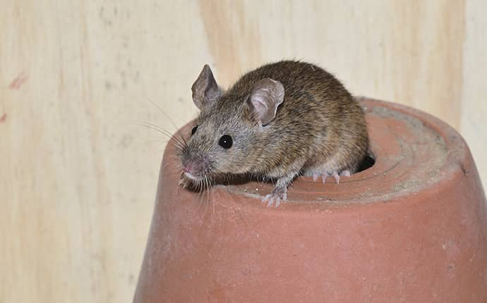 house mouse on top of a flower pot inside home in new orleans louisiana