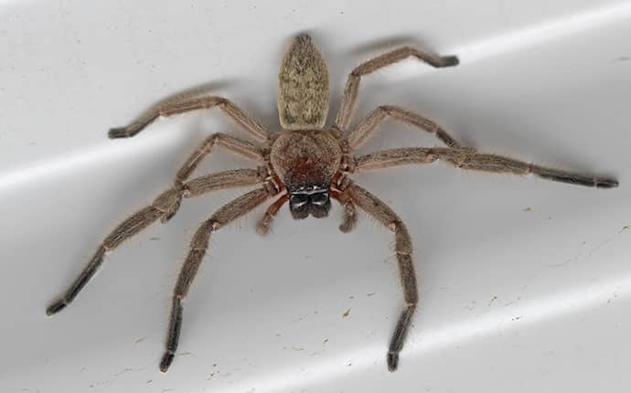 huntsman spider inside a bathtub in a mandeville louisiana home