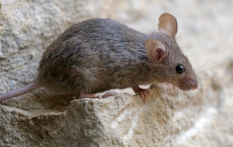 a mouse on a stone step of a commercial property in columbia mississippi