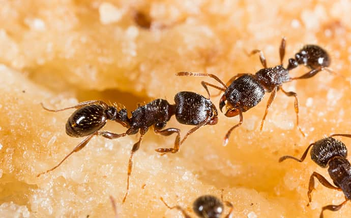 pavement ants crawling on a cake in mobile alabama residence