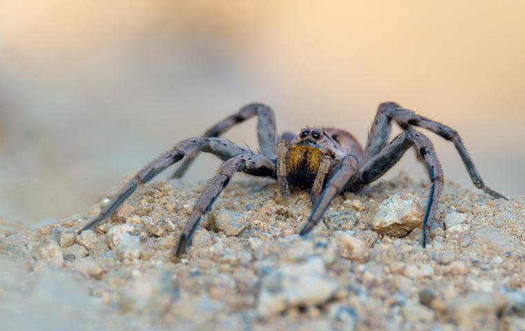 a huntsman spider crawling on gravel in mobile alabama