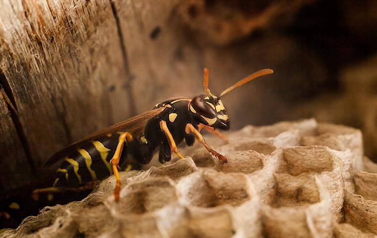 a wasp and nest in the attic of a mississippi residence