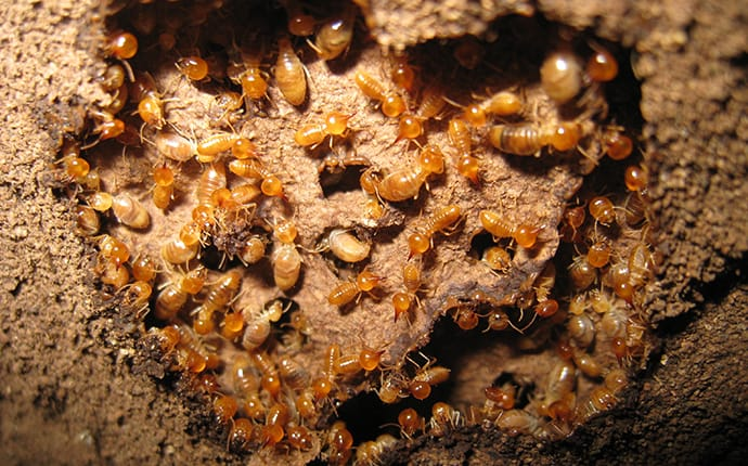 a colony of subterranean termites inside the mud tubes they created
