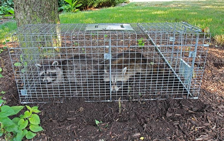 two live trapped raccoons in the yard of a montgomery alabama resident