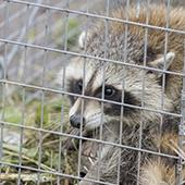 live trapped raccoon in the yard of a jacksonville mississippi residence