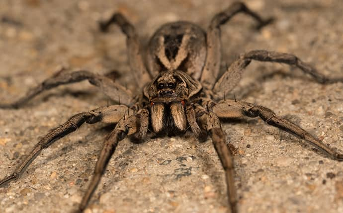 wolf spider outside in the driveway of an opp alabama home