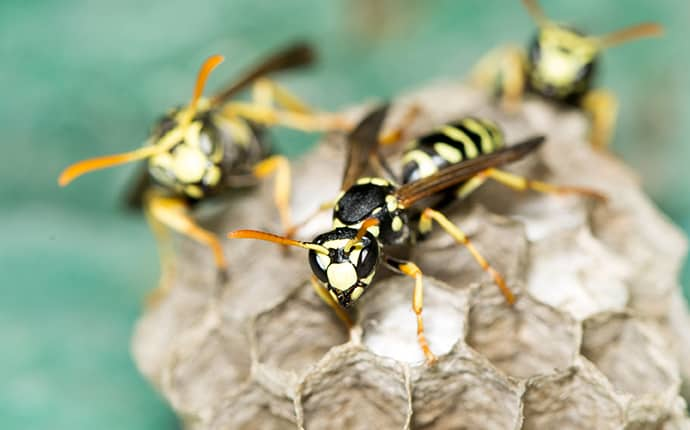 three yellow jackets creating a nest outside of a jackson mississippi home