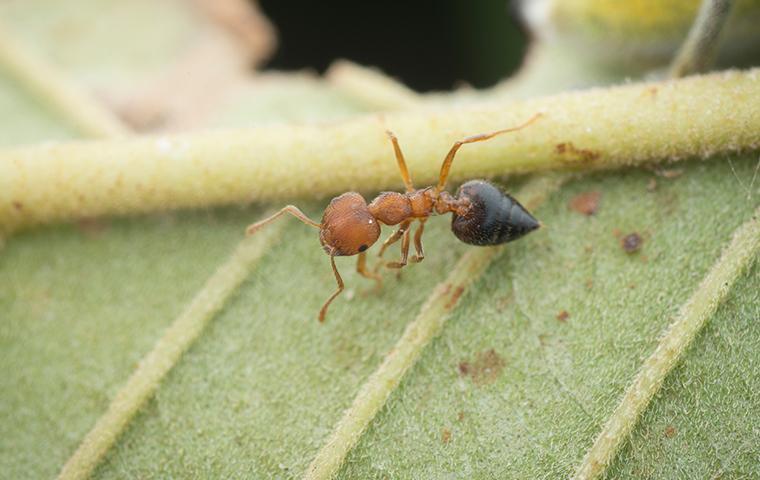 acrobat ant on a leaf