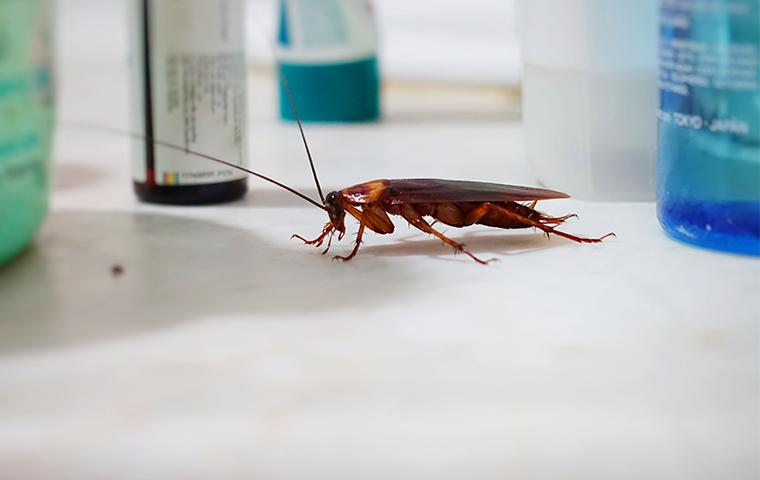 american cockroach on bathroom sink