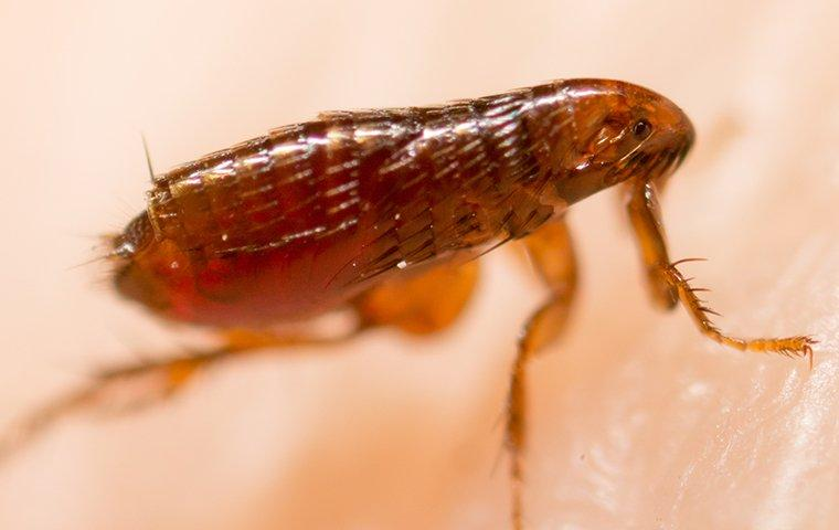 up close image of a flea crawling on human skin
