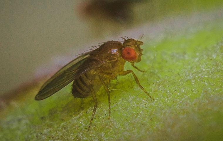 an up close image of a fruit fly on a piece of fruit
