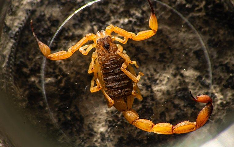 up close image of a bark scorpion in a glass