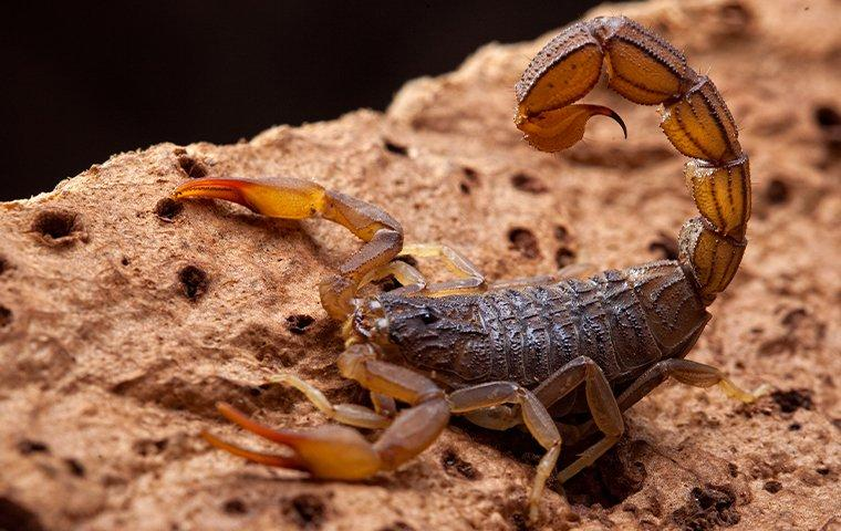 a dangerous bark scorpion crawling along the stone walkway of on a lewisville residential property