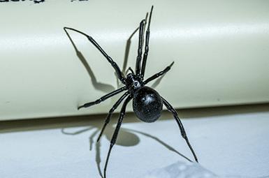 black widow spider in texas home