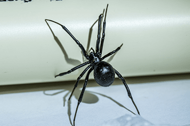 black widow spider in texas home