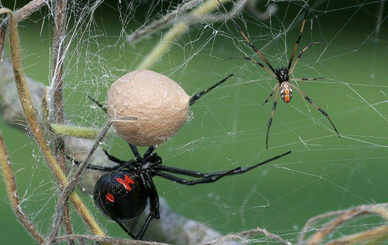 a black widow spider spinning its silk web as it is about to entagle its catch of the day