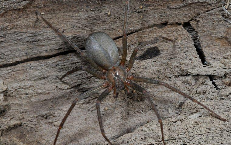 brown recluse crawling in house