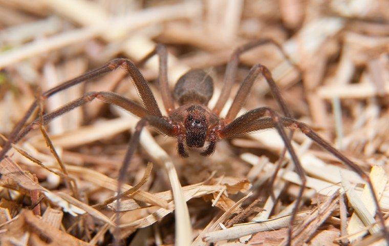 brown recluse near texas home