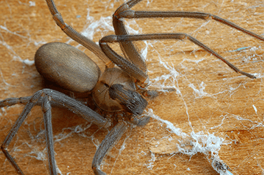 brown recluse spider in denton home