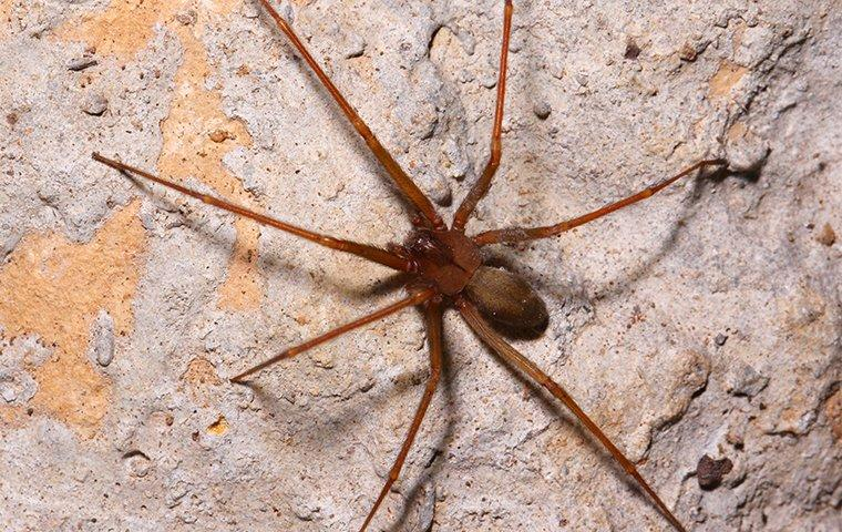brown recluse spider on a cement wall