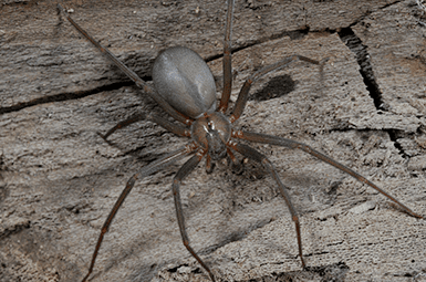 brown recluse spider in basement