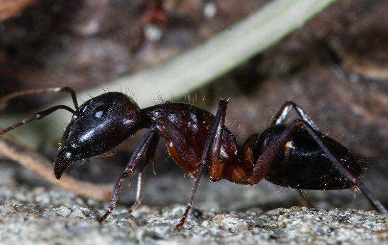 an adult black ant crawling through the gravel driveway on a denton texas property