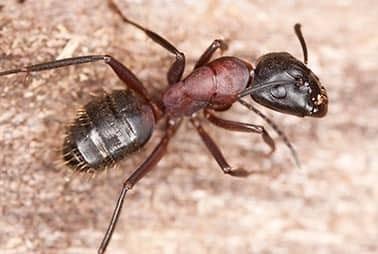 carpenter ants crawling on water damaged wood