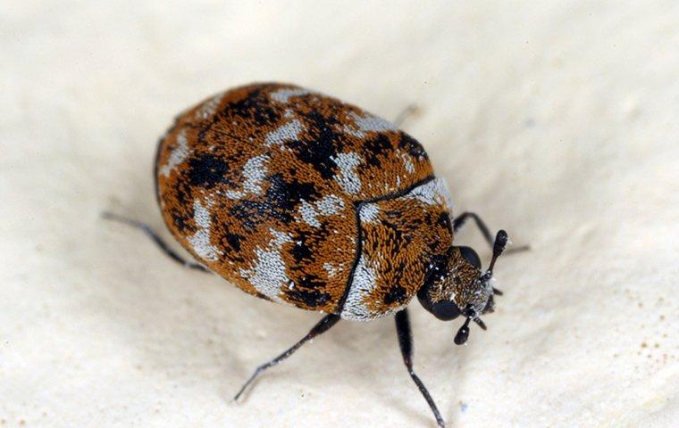 a brown and grey carpet beetle crawling along a food pantry insode of a louisville home