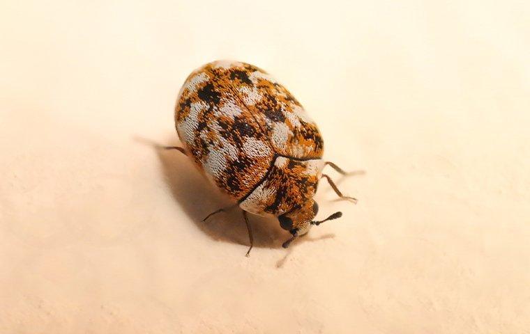 carpet beetle crawling on light surface
