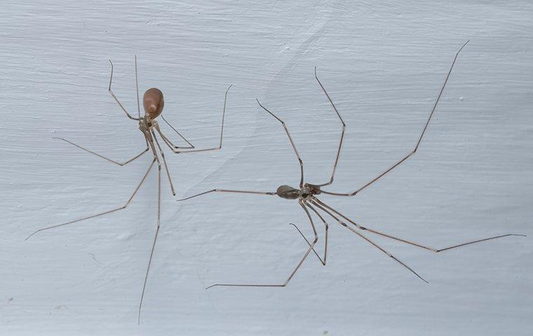 cellar spiders making a web