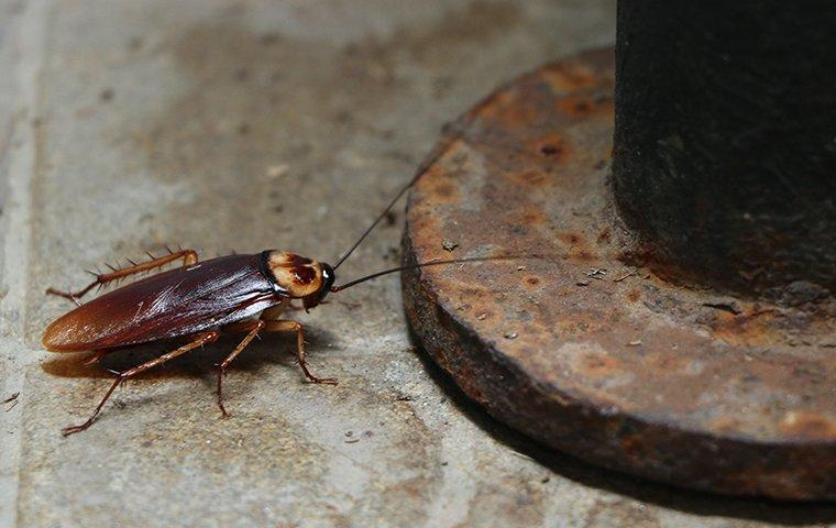 an american cockroach crawling along a lewisville texas basement cement floor
